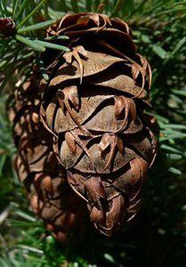 douglas-fir-pine-cone